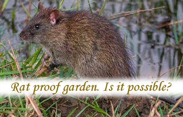 Rat proof garden. Is it possible?