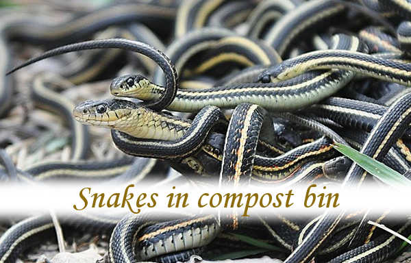 Snakes in compost bin