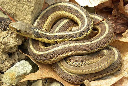 Garter snakes venomous?