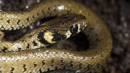 Grass snake bite