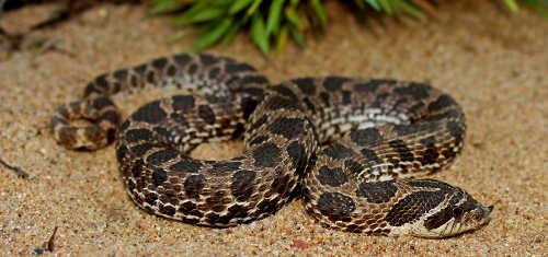 Hognose snakes venomous?