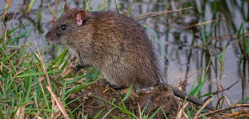 Rats near rivers