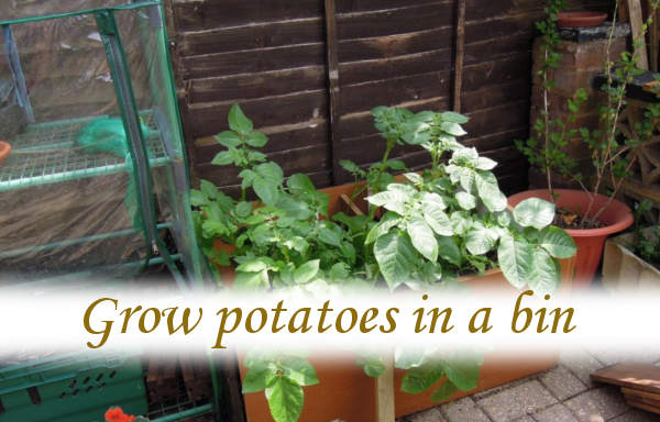 Grow potatoes in a bin