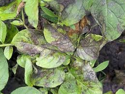 What are the signs of potato blight?