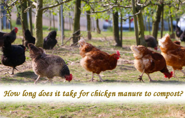 How long does it take for chicken manure to compost?