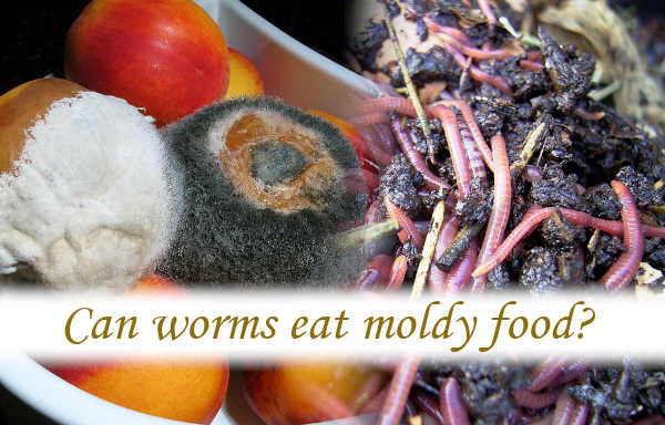 Can worms eat moldy food?