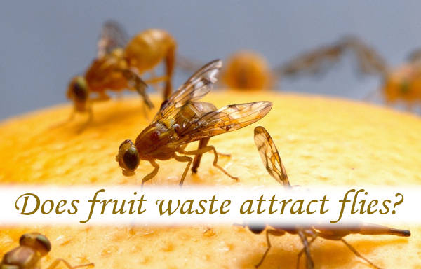 Does fruit waste attract flies?