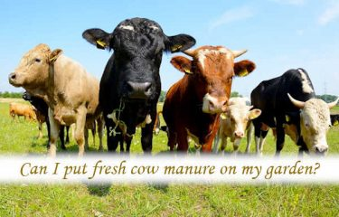 Can I put fresh cow manure on my garden?