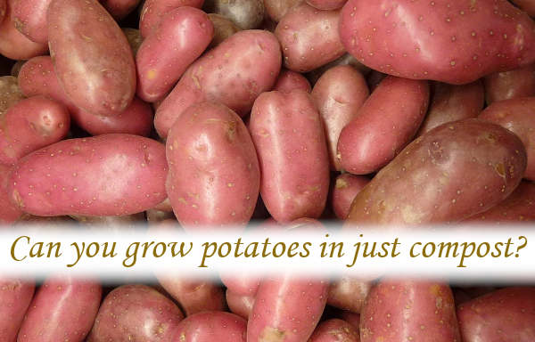 Can you grow potatoes in just compost?