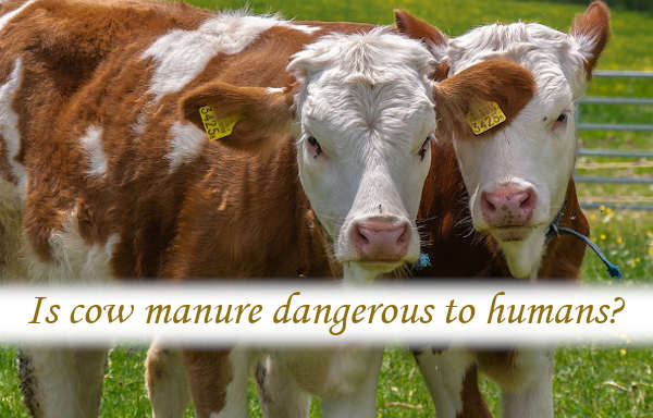 Is cow manure dangerous to humans?