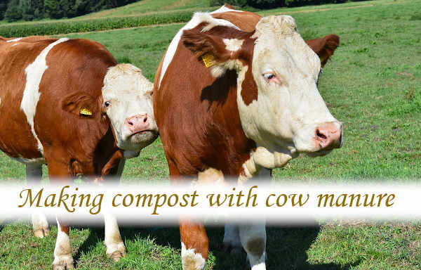 Making compost with cow manure
