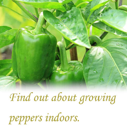 Can you grow peppers indoors?_04