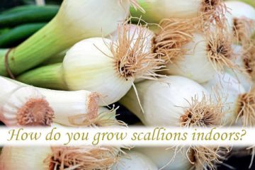 How do you grow scallions indoors?