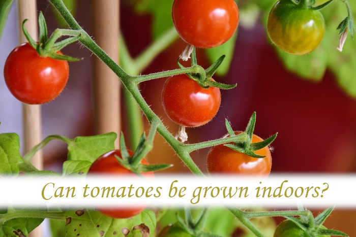 Can tomatoes be grown indoors?