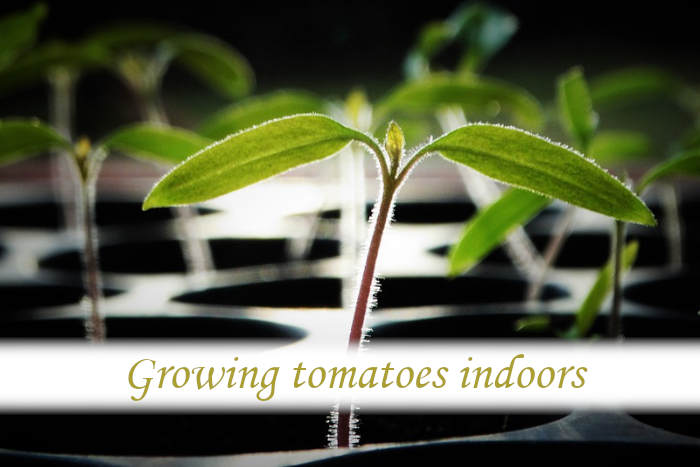Can tomatoes be grown indoors?_02
