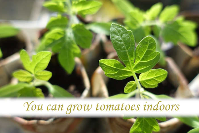 Can tomatoes be grown indoors?_03