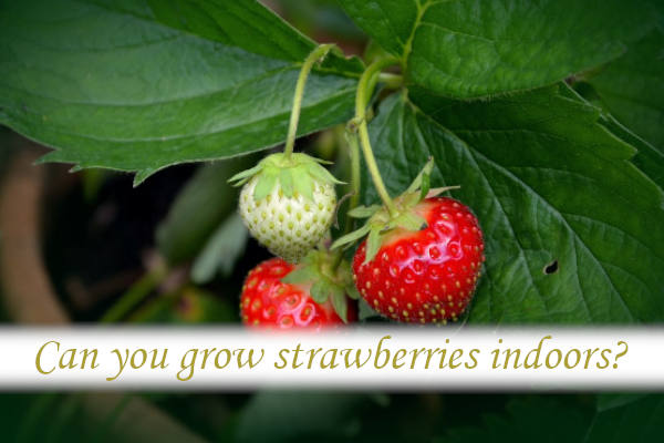 Can you grow strawberries indoors?