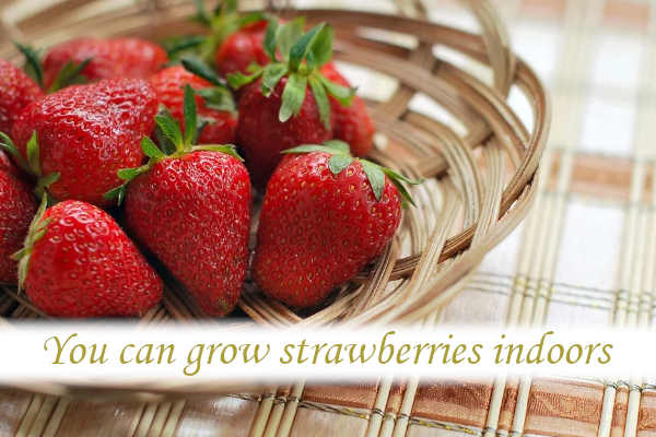 Can you grow strawberries indoors?_02