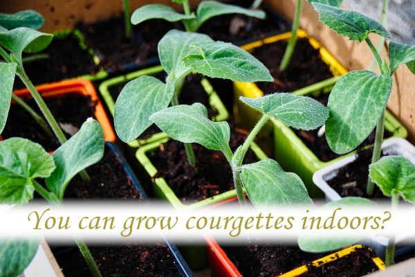 Can you grow courgettes indoors?
