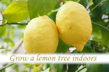 How do you grow a lemon tree indoors?